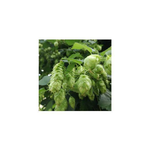 Hop Harvest IPA 2018 sör 30L KEG (alc. 7,1%)